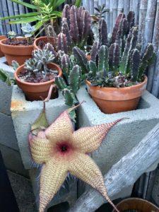 starfish-flower-cactus